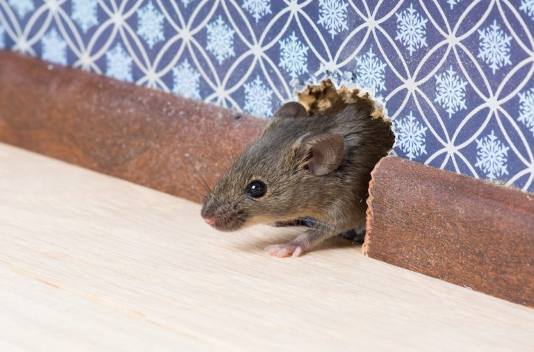 Common house mouse looks out from a mink in the wall